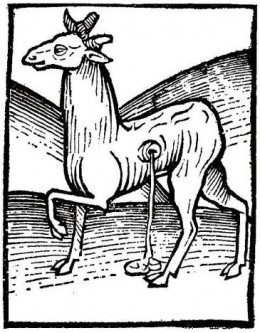 An Early Engraving of the Musk