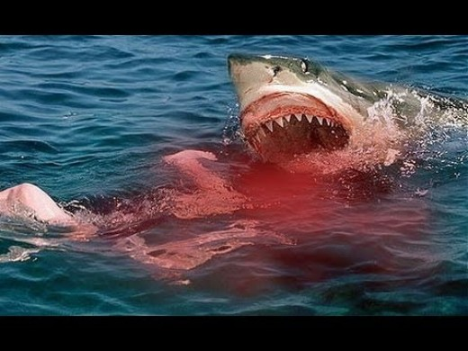 Largest great white shark attack