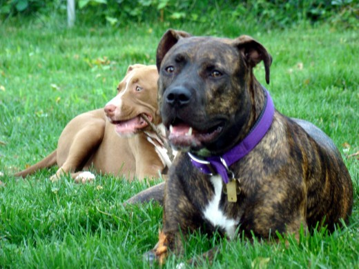 American Pit Bull Terrier dog picture