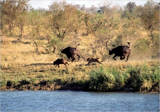 Búfalos y leones