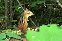 My chipmunks like peanuts, sunflower seeds and even strawberries.