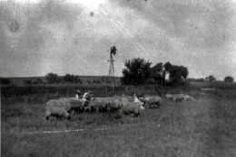 sheep on the Ren Martin farm during the 1930s