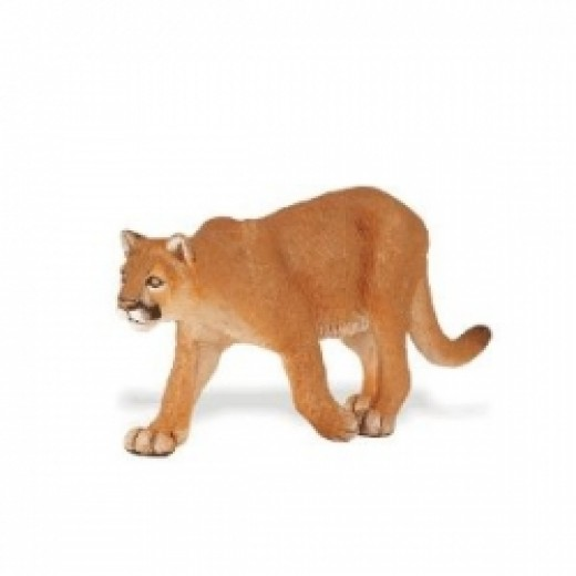 Notice the way a Mountain Lion walks. The two feet on one side are together while the two feet on the other side are far apart.