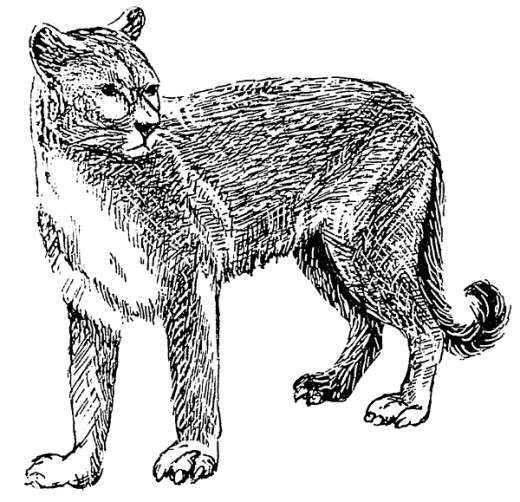 Image of a Mountain Lion in the Public Domain