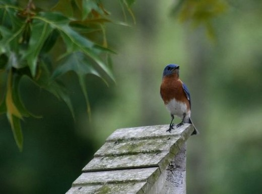Eastern Bluebird on the Roof