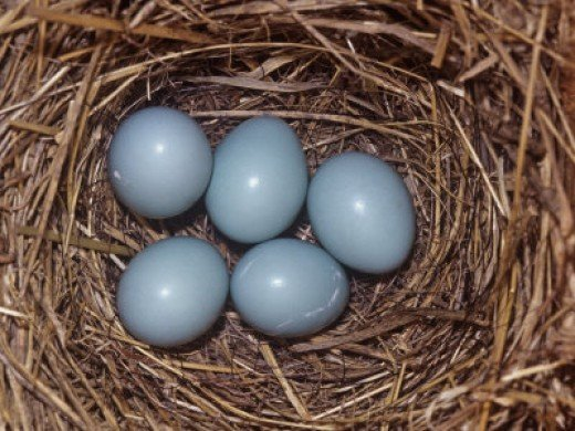 Eastern Bluebird Nest with Five Blue Eggs.