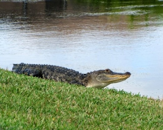 My Photo of an Alligator (taken with a Canon PowerShot SX20 IS)