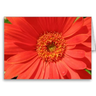 A close-up of an African daisy. I featured it on a greeting card on the Zazzle site.