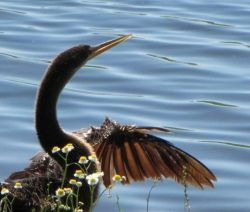 An anhinga that was near the rookery