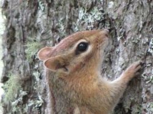 Chipmunk climbing a tree in New Hampshire