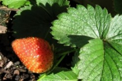 What's Eating the Strawberry Plants