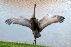 Romance of the Sandhill Cranes