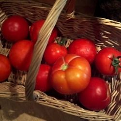 Tomatoes from the garden at The Micro Farm Project