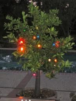 Protect your citrus tree from frost with old-fashioned Christmas lights.