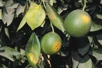 Sunburn damage on citrus