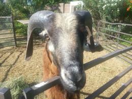 Oliver, the Blackbelly ram