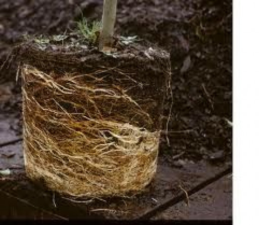 Circling roots on a plant that has been in the nursery pot too long.
