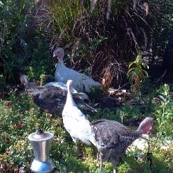 "The turkeys ""pre-season"" themselves in the oregano patch."