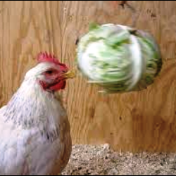 Provide plenty of distraction when introducing new hens to a flock.