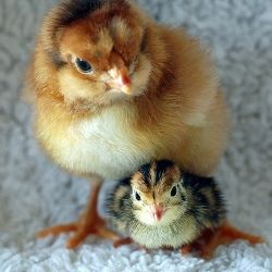 A Wyandotte chick and a Coturnix quail chick of the same age.
