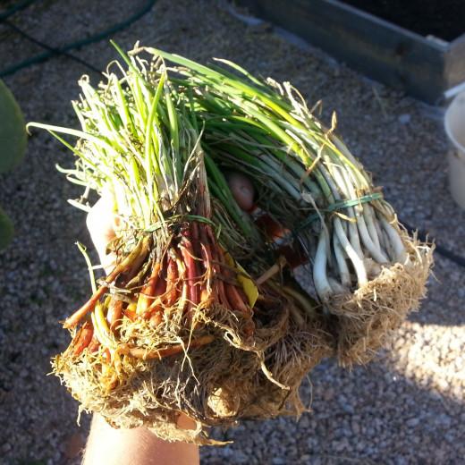 planting_onions