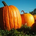 Garden Tips From the Micro Farm:  Growing Pumpkins