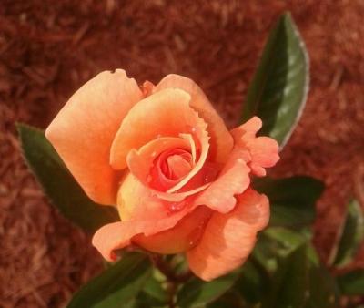 A Picture of My Sundowner Grandiflora