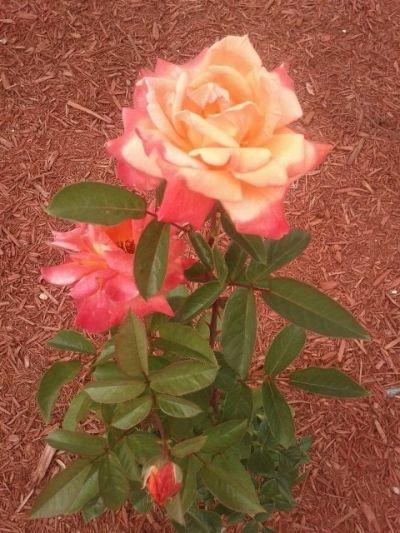 Sundowner Blooms 5-7 Days Old