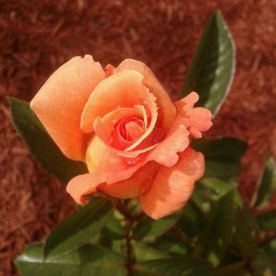 My Sundowner Bloom Starting to Open