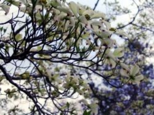 dogwood tree, dogwood tree in bloom