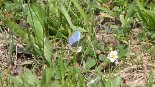 Spring Azure (Celastrina ladon)