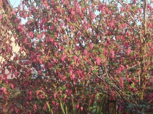 A Flowering Currant Bush
