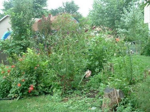 "The ""Jungle Garden"" - as it always looked in late summer when everything was going crazy! There was everything in there from a tiny apple  tree to a beautiful red and white peppermint rose bush, tall phlox, elderberry, and of course hostas."