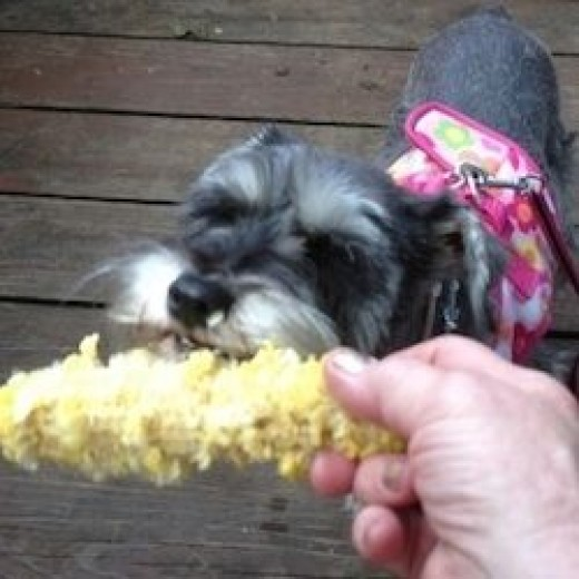 Ladybug enjoys her first taste of corn on the cob! All schnauzers I have met love corn!