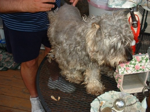 This is an example of how bad a Schnauzer can look when he comes into a rescue. This little guy, Scheultzie, was an owner surrender. He had been crated with a Dalmatian, if you can imagine that. Scheultzie was solid mat. Eyebrows even. It took two se