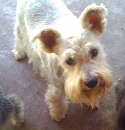 This is my baby, Scrappy Jack, a 10 year old white schnauzer. I bought him before I found out about Schnauzer rescue. In this picture he's about halfway to needing a haircut. Scrappy is very cooperative with grooming.