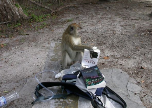 Monkey on a Panang beach rifling through someone's valuables
