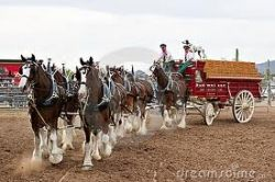 The famous clydesdale horses pulling a heavy wagon