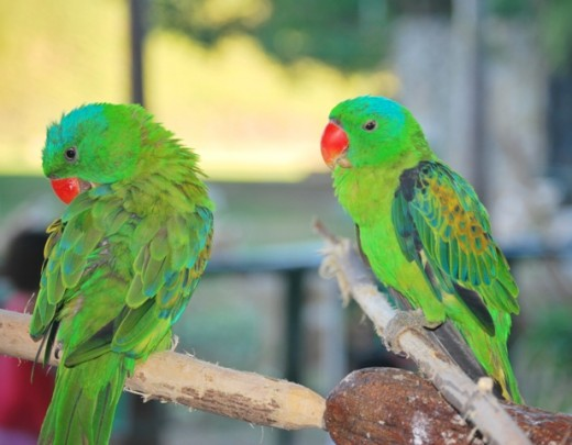 Beautiful green and orange parrots