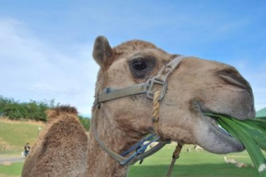 One of the camels at Baluarte zoo