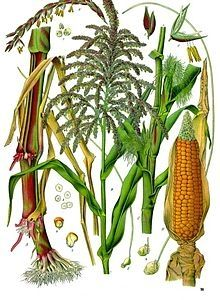 Gluten Free Grains -- Corn