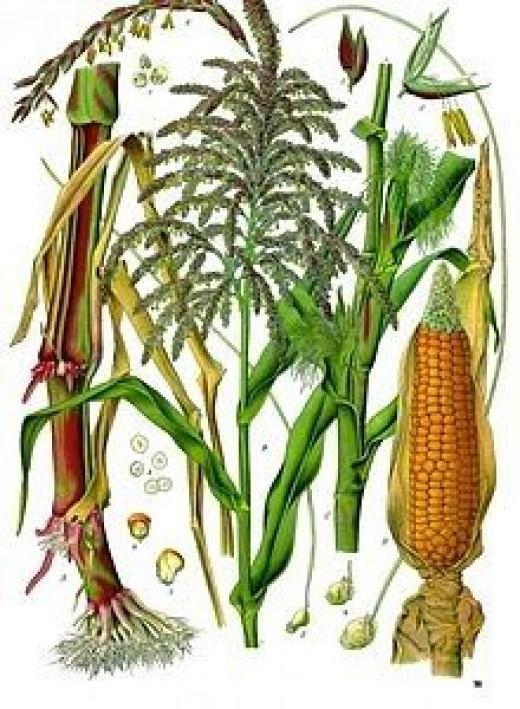 Gluten Free Grains -- Corn