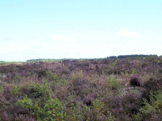 Heather on Culloden field