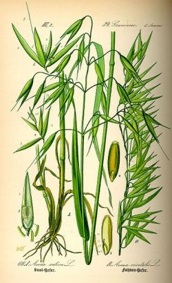 Gluten Free Grain -- Oats