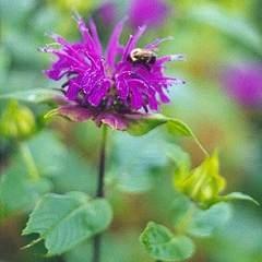 Monarda, or Bee balm