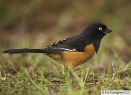 Towhee - a shy bird that loves to scratch under shrubs and brush.