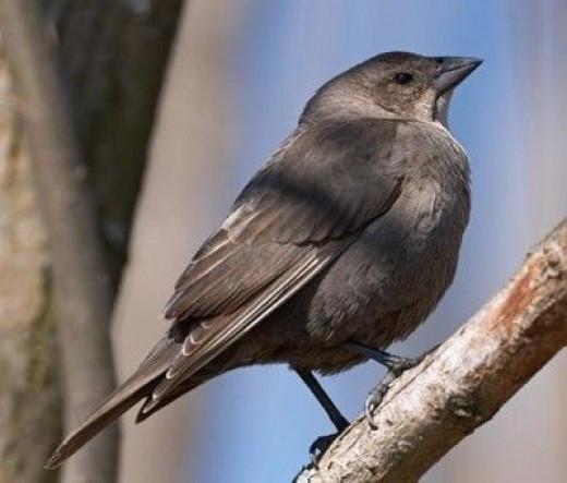 Brown-Headed Cowbird Female.