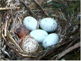 Speckled Brown-Headed Cowbird egg in a songbird nest.