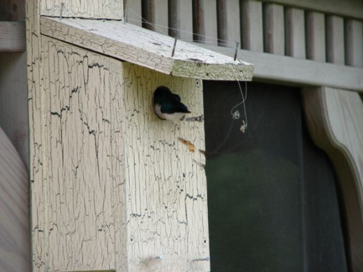 Tree Swallows and Bluebirds love our custom made birdhouse