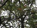 Common Diseases of Crabapple Trees